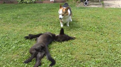 wolf corgi puppy wolf cub and corgi