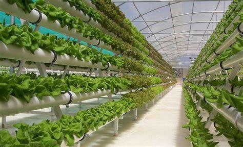 menanam anggur hidroponik peluang usaha budidaya sayuran organik ala urban farming
