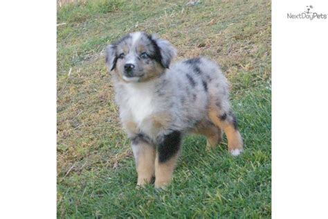 blue merle miniature australian shepherd puppies for sale mini blue merle australian shepherd puppies for sale breeds picture