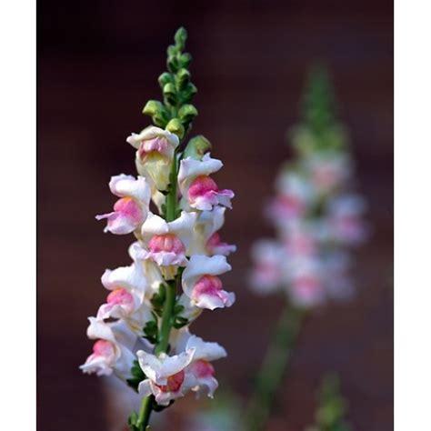 Bibit Bunga bibt bunga snapdragon whitey
