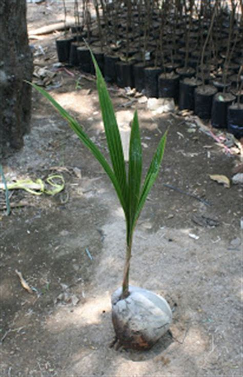 Jual Bibit Kelapa Kopyor Di Jawa Timur bibit kelapa bibit kelapa