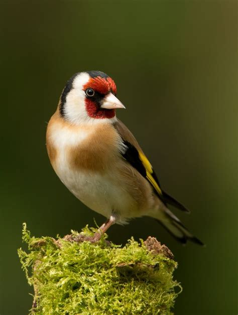 Themes Goldfinch | best 25 goldfinch ideas on pinterest pretty birds