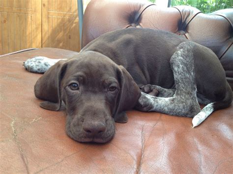 puppy for beautiful gsp puppies for sale stafford staffordshire pets4homes