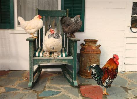chickens   rocker bedlam farm journal bedlam farm journal