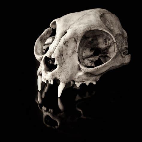 animal skull tattoo cat skull school animal skulls skull