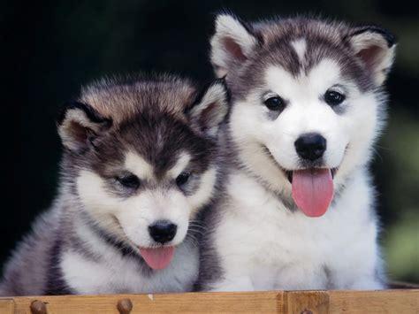huskey puppy 48829 husky husky puppies
