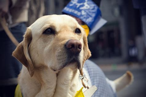 can dogs sugar can dogs really detect low blood sugar in diabetics