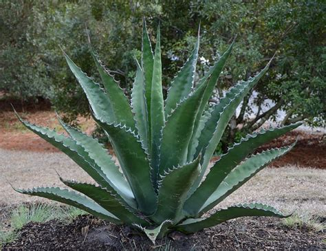 agave buying guide ebay