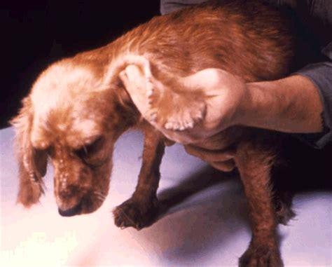 sarcoptic mange in dogs image gallery sarcoptic mange
