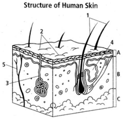 cross section of skin diagram raul blog unlabeled skin layer diagram