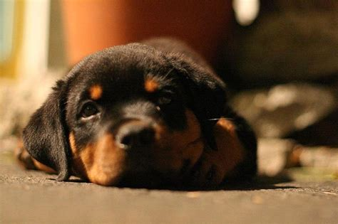 how much does a rottweiler puppy cost rottweiler puppy images jpg