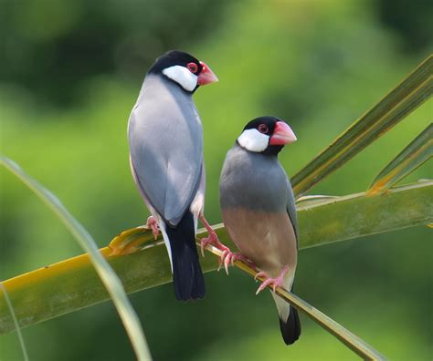 Java Search Java Finch Images