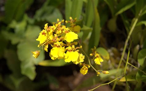 Orchid Yellow yellow oncidium orchid www imgkid the image kid
