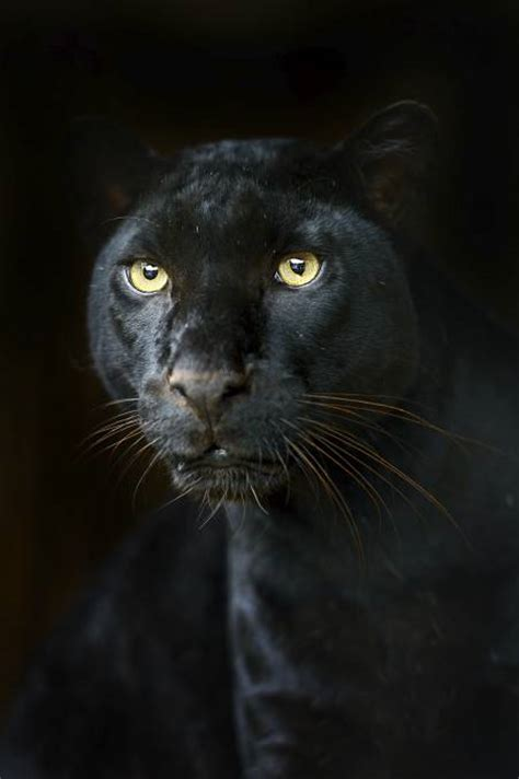 Kaos Black Panther 2 F 024 the big black cats that roam our bush poll photos
