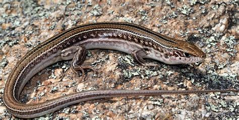 australian backyard lizards australian backyard lizards 28 images brooks ctenotus