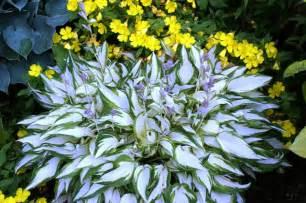 Hardest Plants To Grow growing white centered hostas nh hostas