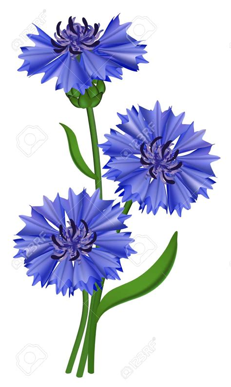 fiore clipart centaurea cyanus clipart clipground