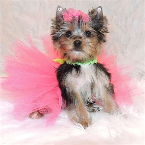 miniture yorkie puppies get mini yorkie puppy kenzie yorkies for sale