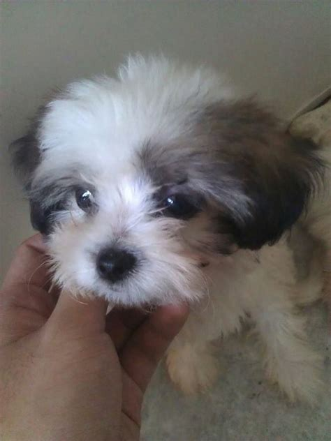 how much shih tzu puppies cost how much does a shih tzu puppy cost many breeds picture