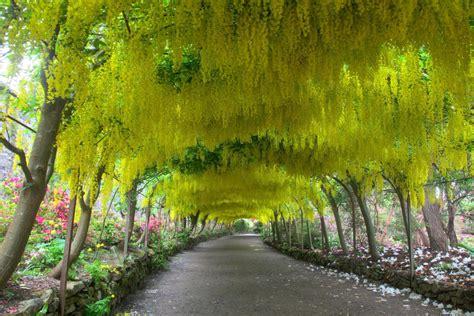 Bodnant Garden Laburnum Arch Bodnant Garden Snowdonia Information