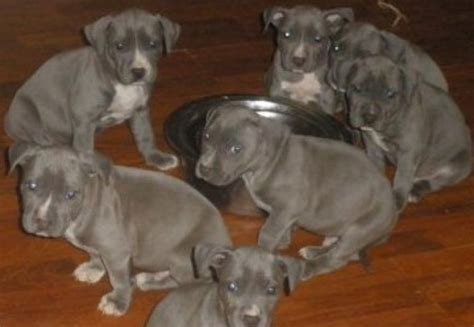 pitbull puppies adoption blue nose american pitbull puppies for adoption offer