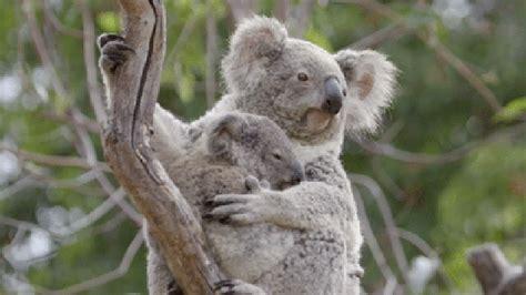 imagenes animadas koala 12 absolutely insane facts about animal pregnancy cuteness