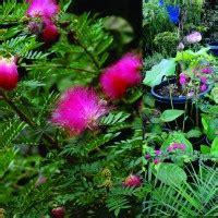 Jual Bibit Bunga Kaliandra jual bibit biji kaliandra jual bibit tanaman dan jasa