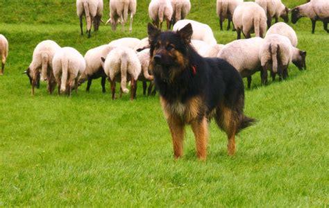 alt deutsche hutte hond honden landschapskudde oost achterhoek