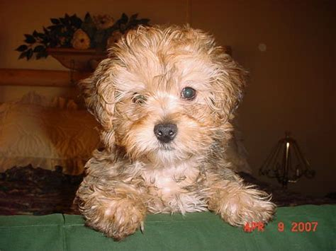 yorkie poo oregon 152 best images about yorkie poo レ o 乇 on adoption poodles and