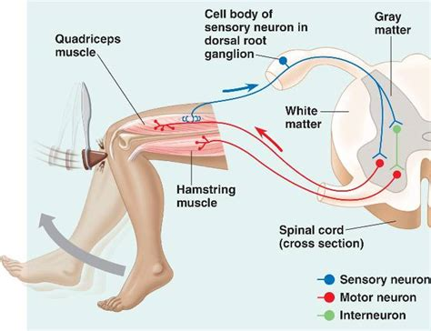 diagram of reflex the gallery for gt quadriceps reflex