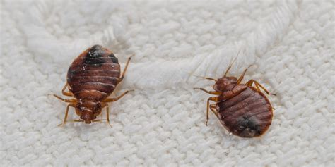 What Temperature Do Bed Bugs Die by Bed Bug Survival In Freezing Temperatures Examined By