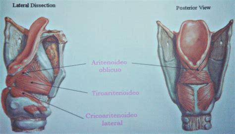 vestibulo laringeo glotis laringe sistema respiratorio