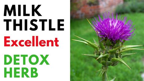 Milk Thistle Detox Benefits by Milk Thistle Benefits For Liver Kidney And Whole