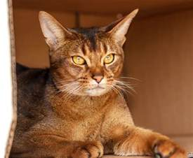 Which Cat Sheds The Least by Arabian Mau Cat Info Personality Kittens Pictures