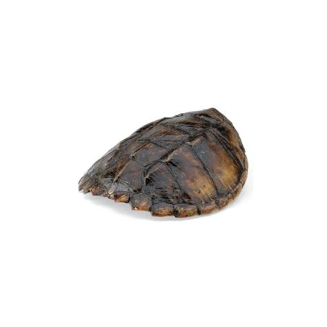 common snapping turtle shell real turtle shell