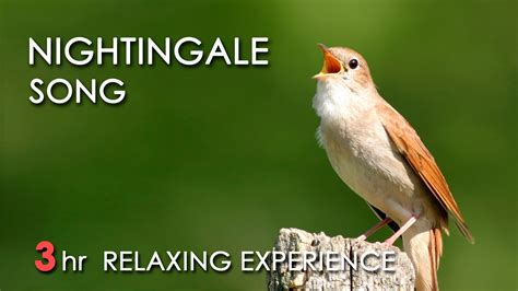 best nightingale song 3 hours realtime nightingale
