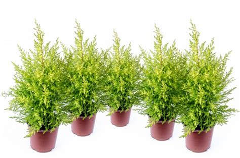 small pine trees free stock photo public domain pictures