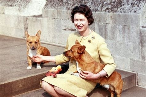 queen elizabeth s dogs the pembroke welsh corgi might get classified as an