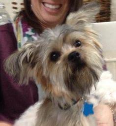 havanese rescue oklahoma newport ca yorkie terrier poodle or tea cup mix meet