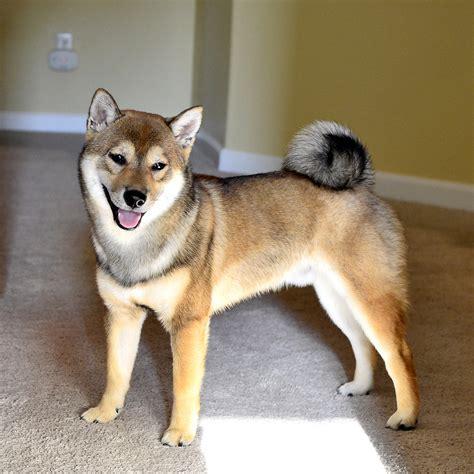 shiba inu puppies va m 225 s de 25 ideas incre 237 bles sobre shiba inu breeders en