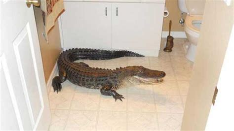 there s an alligator in the bathroom florida finds