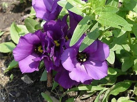 viola significato fiore lisianthus piante da giardino lisianthus giardino