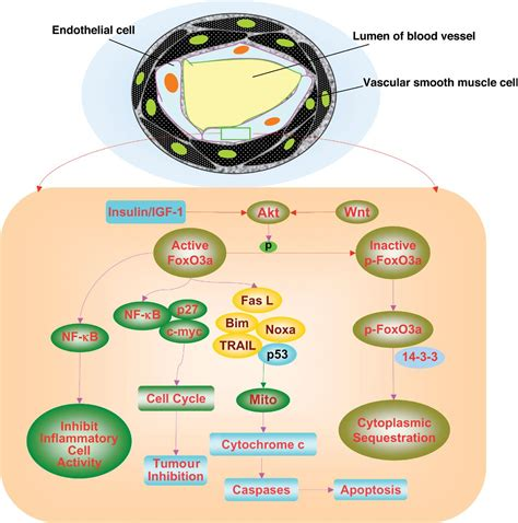3 proteins in the foxo proteins cunning concepts and considerations for the