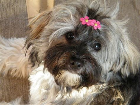how much are havanese puppies 99 best images about havanese on the hedgehog dogs and sheds
