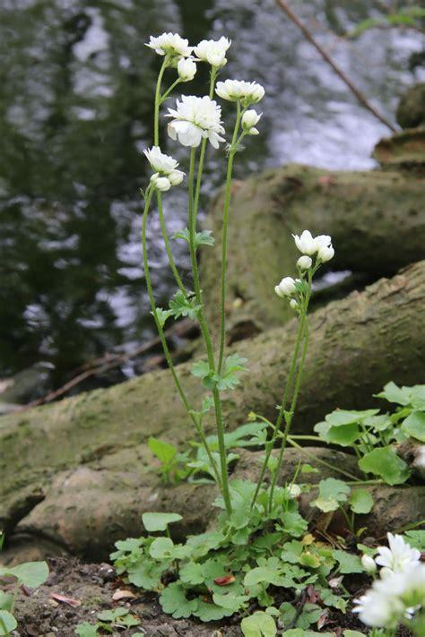 bloem haarlems klokkenspel haarlems klokkenspel saxifraga granulata var plena
