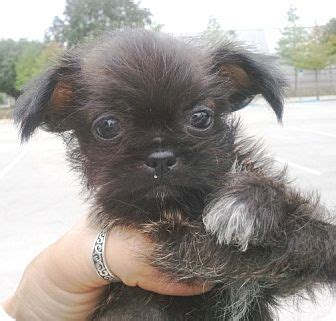 teacup chihuahua mixed with shih tzu shih tzu chihuahua mix puppy for adoption in orlando florida ramos 1m