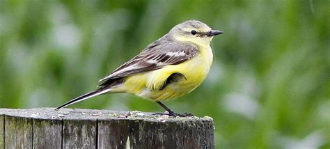 intriguing yellow wagtails birding frontiers