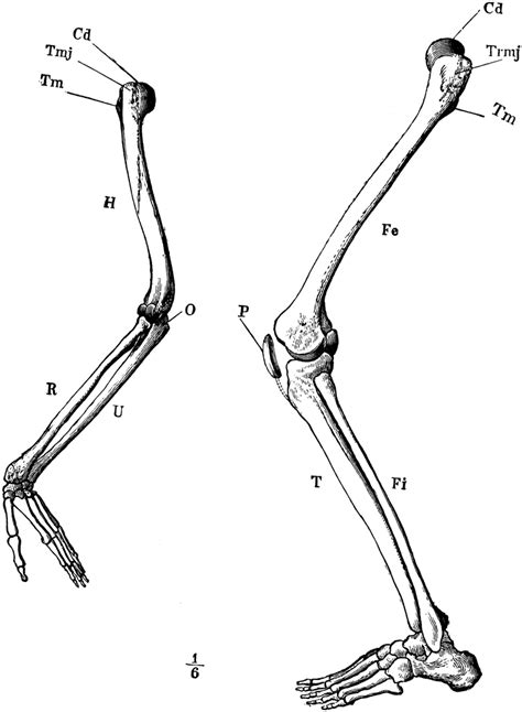 Arm and Leg Skeleton | ClipArt ETC