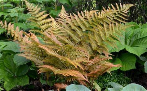 Home Decor Online Shop buy autumn fern dryopteris erythrosora 12 count flat