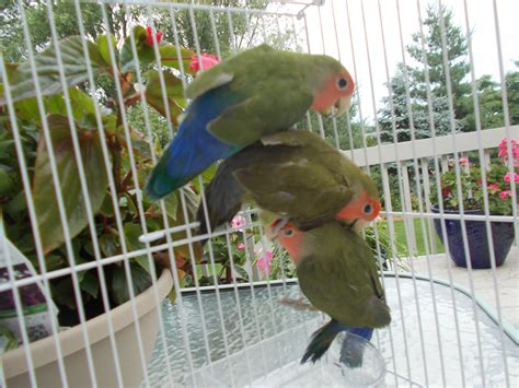 lovebirds for sale in indiana